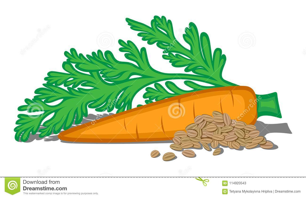 carrot plant diagram wiring motor taproot cartoons illustrations and vector stock images
