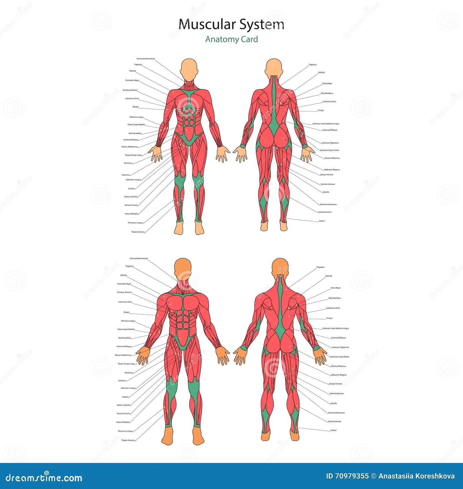 Illustration Des Muscles Humains Corps Femelle Et Masculin