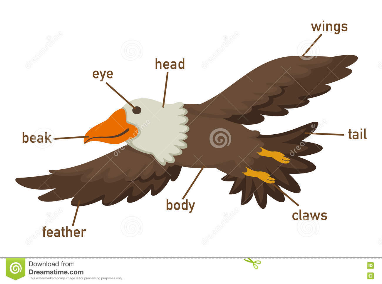 diagram parts of a feather ballast wiring illustration eagles vocabulary part body stock