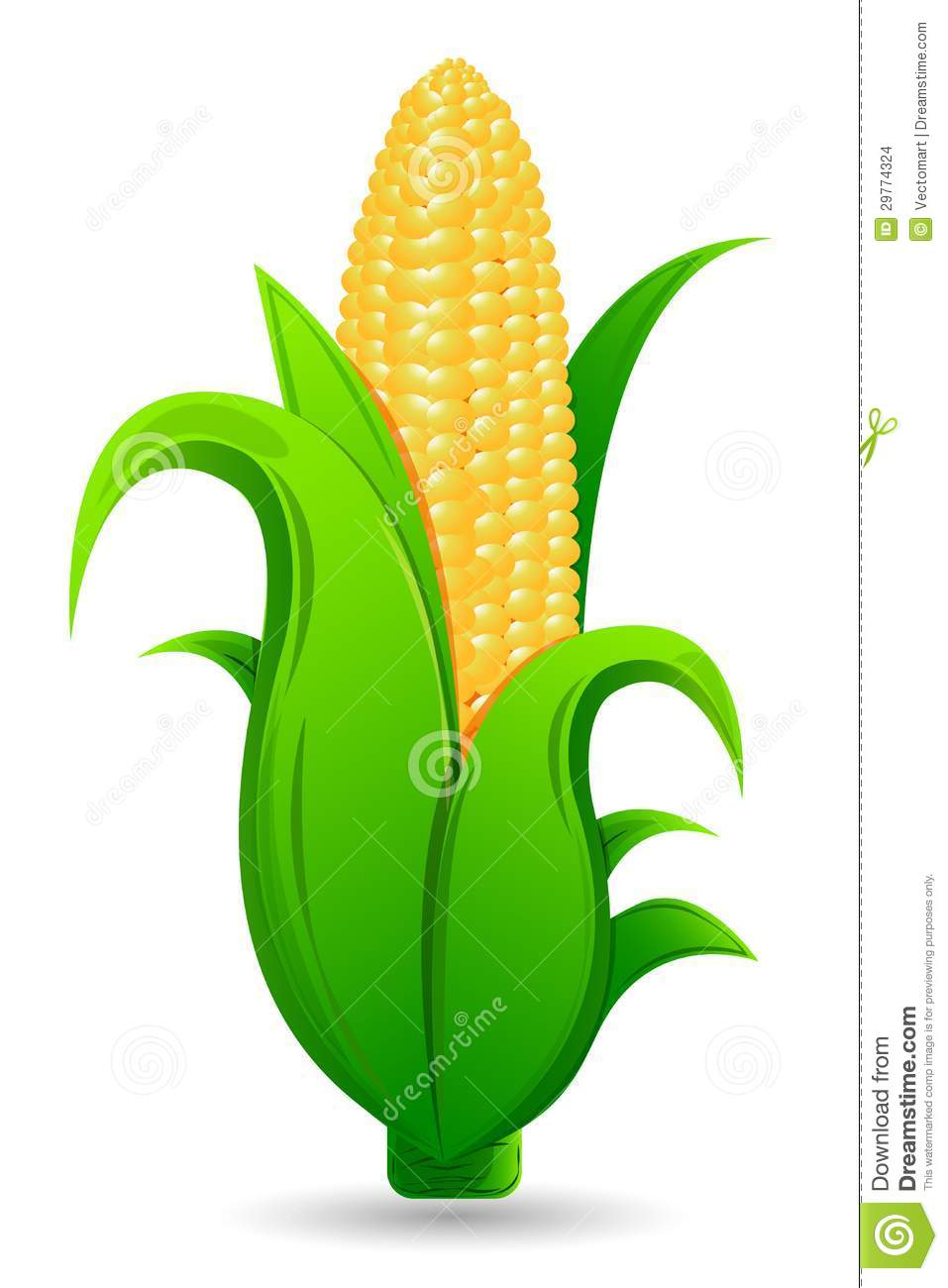 Fresh Corn Stock Images  Image 29774324