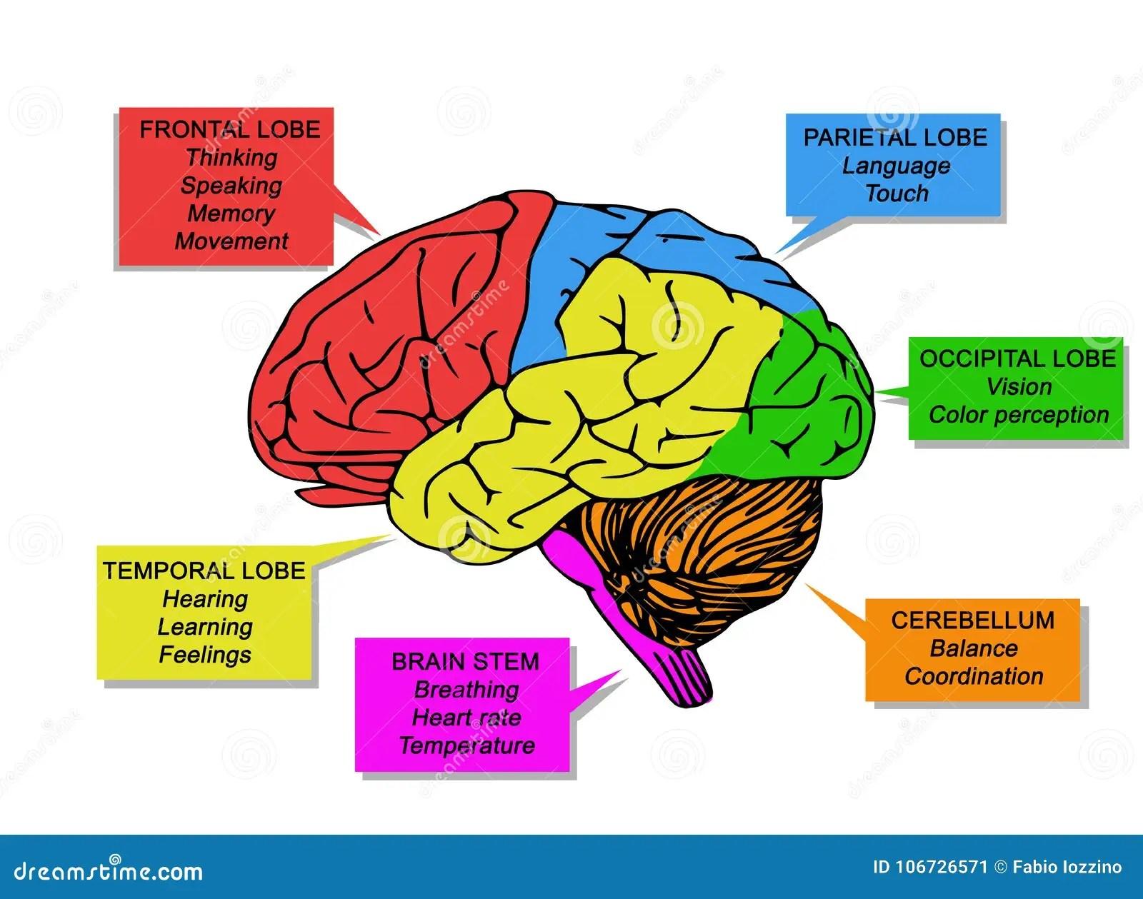 Illustration Of Human S Brain Functions Stock Illustration
