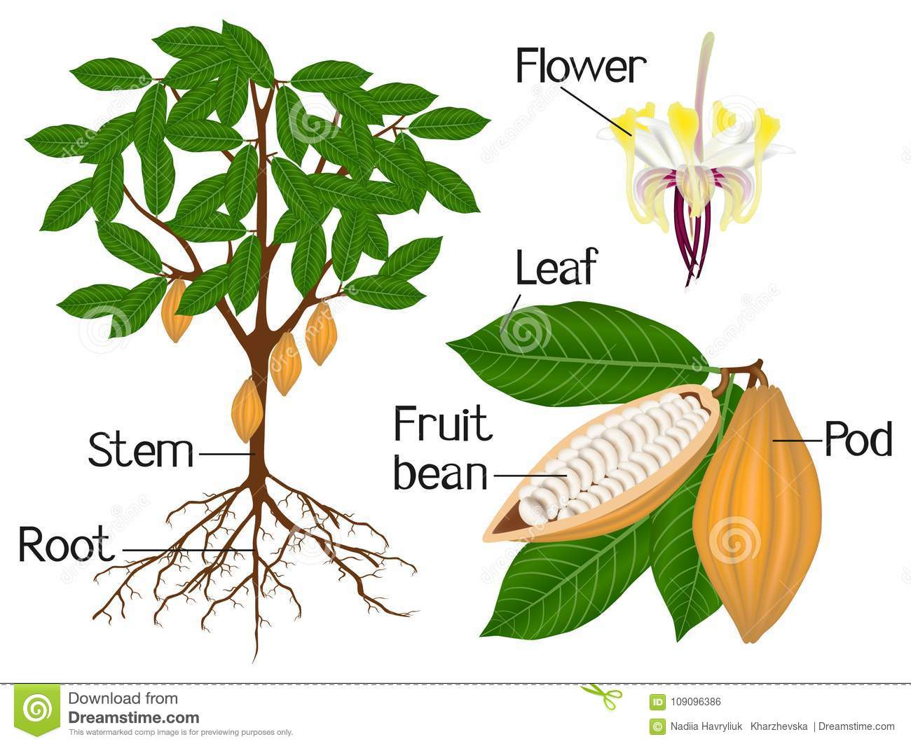 An Illustration Showing Parts Of A Cocoa Plant Stock