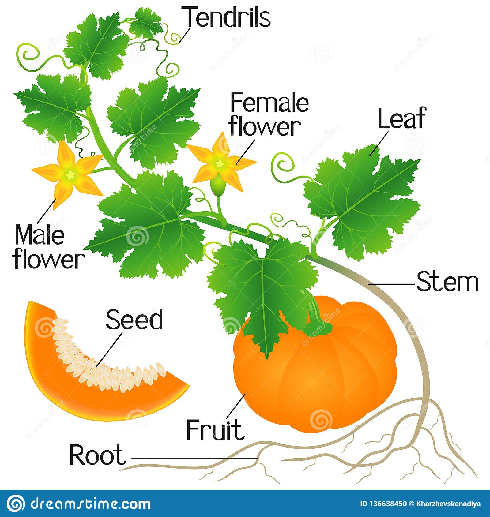 An Illustration Showing Parts Of A Pumpkin Plant Stock