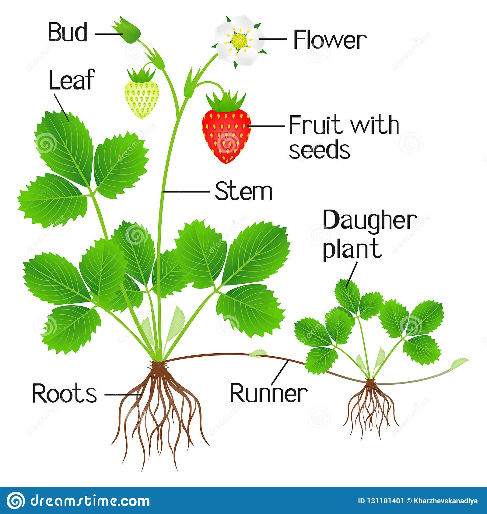 An Illustration Showing Parts Of A Strawberry Plant Stock