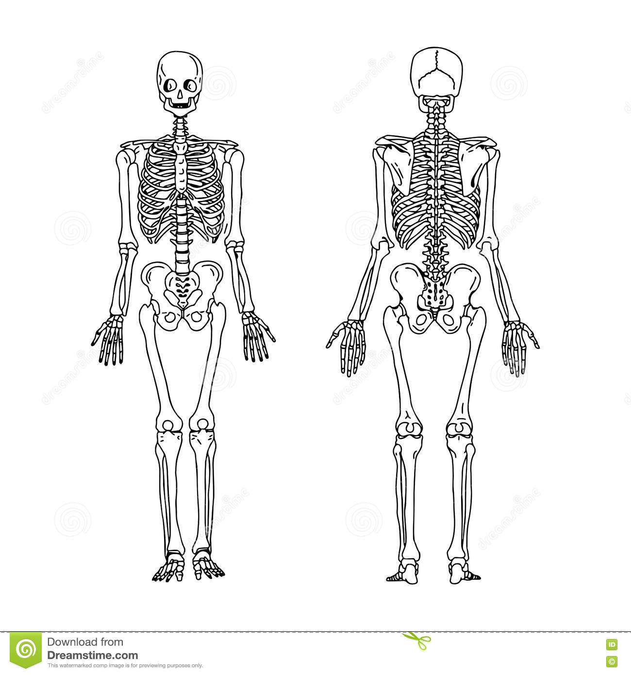 Old Engraving Of Human Skeleton Stock Illustration