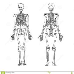 Skeletal System Anterior View Diagram 1997 Chevy Blazer Radio Wiring Illustration Vector Hand Draw Doodles Of Human Skeleton