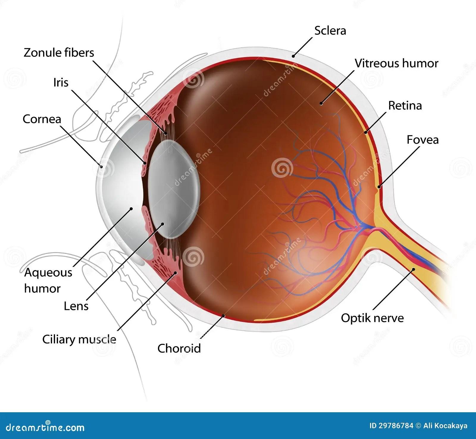 canine eye diagram right soa architecture context bulbo oculare umano immagini stock immagine 29786784