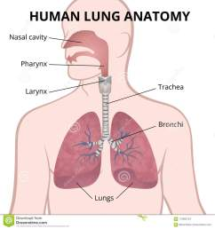 image of the anatomy of the lungs the location of the internal organs of respiration in the human body [ 1300 x 1390 Pixel ]