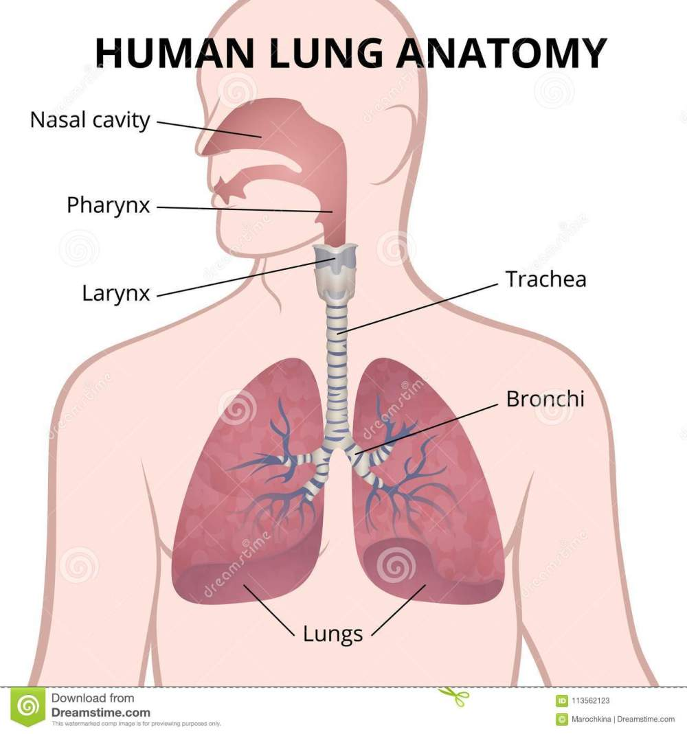 medium resolution of image of the anatomy of the lungs the location of the internal organs of respiration in the human body