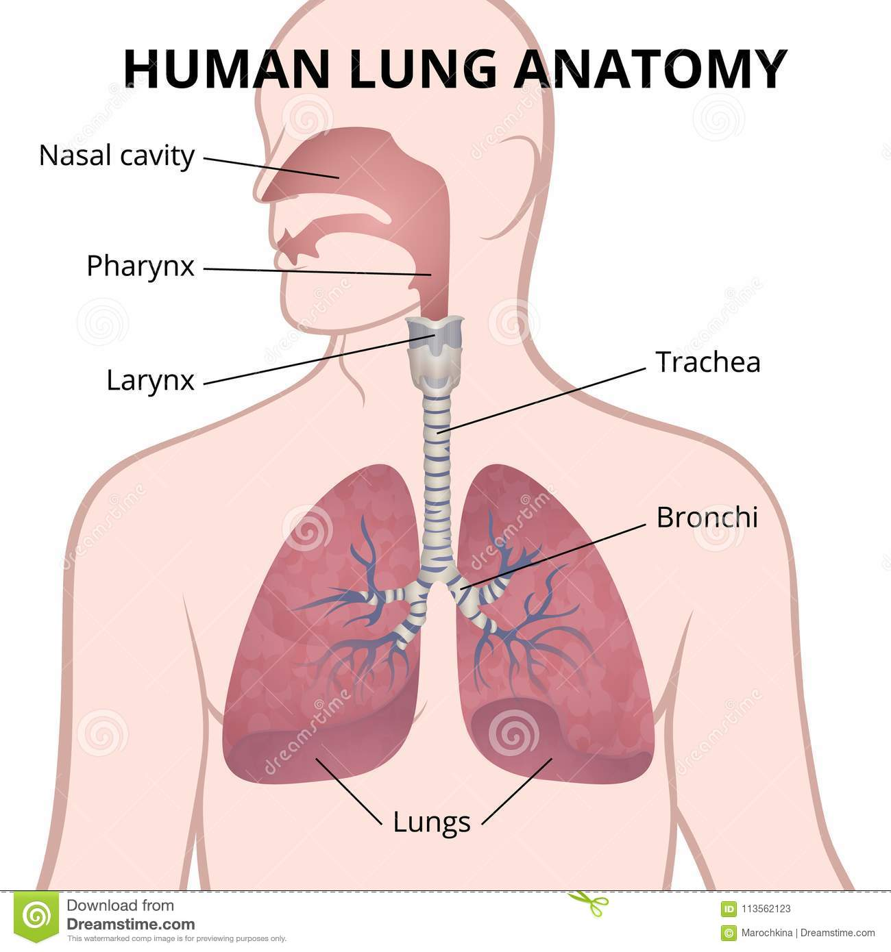 hight resolution of image of the anatomy of the lungs the location of the internal organs of respiration in the human body
