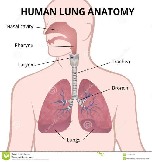 small resolution of image of the anatomy of the lungs the location of the internal organs of respiration in the human body