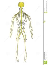 Image of nervous system stock illustration. Image of ...
