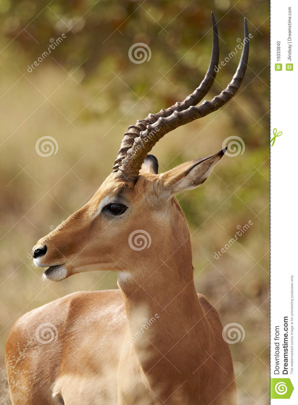 Impala ram in profile stock photo Image of male front  19333840