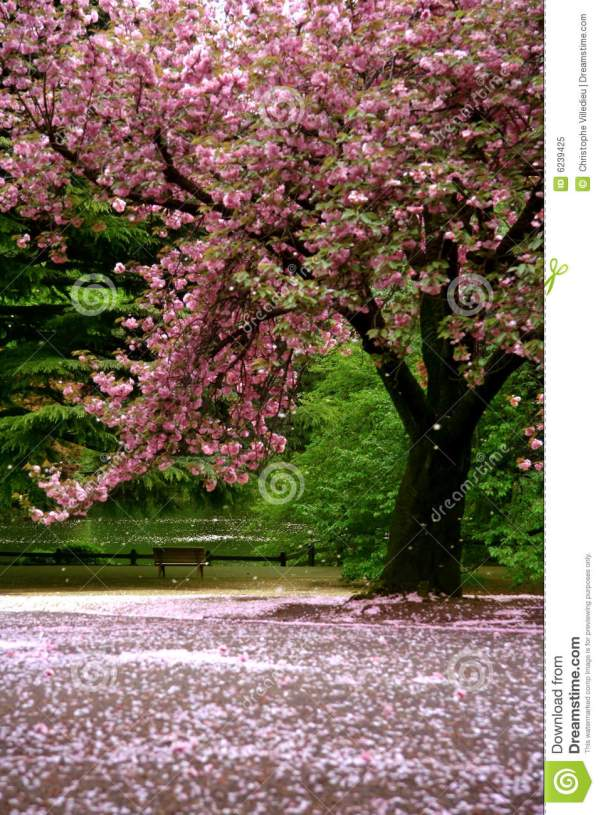 Incredible Scene - Cherry Blossom Snow Royalty Free Stock