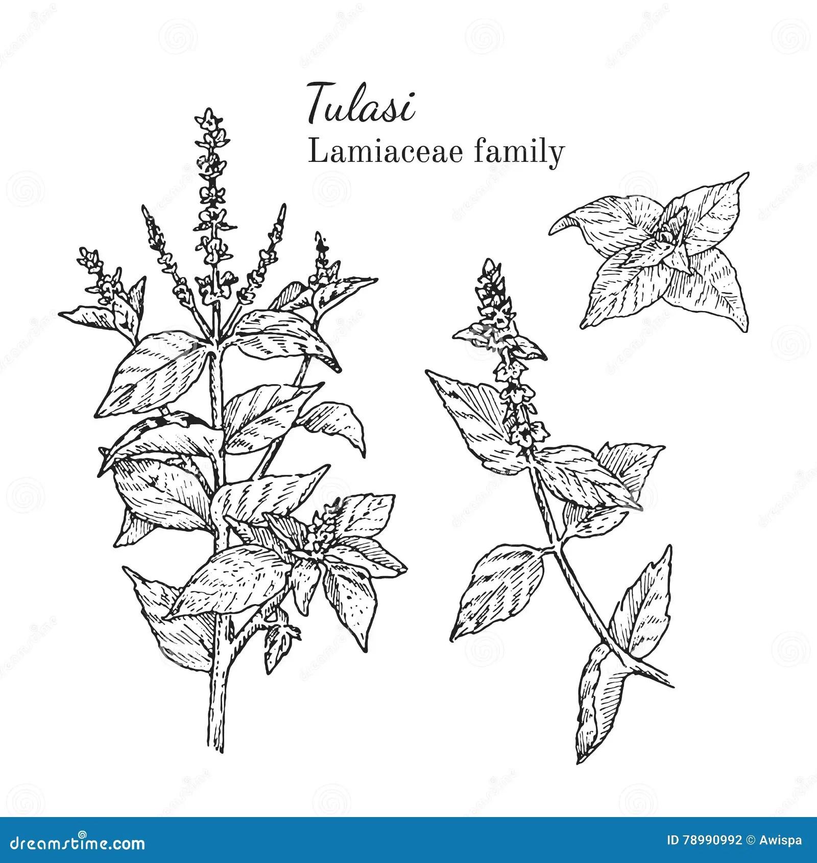 Ink Tulasi Hand Drawn Sketch Stock Vector