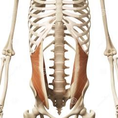 Bones Human Skeleton Diagram Blank Animal Cell To Label The Internal Oblique Stock Illustration - Image: 45575608