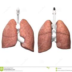 Where Are Your Lungs Located In Back Diagram Lifan 125cc Scooter Wiring Location Of Human Esophagus Pancreas