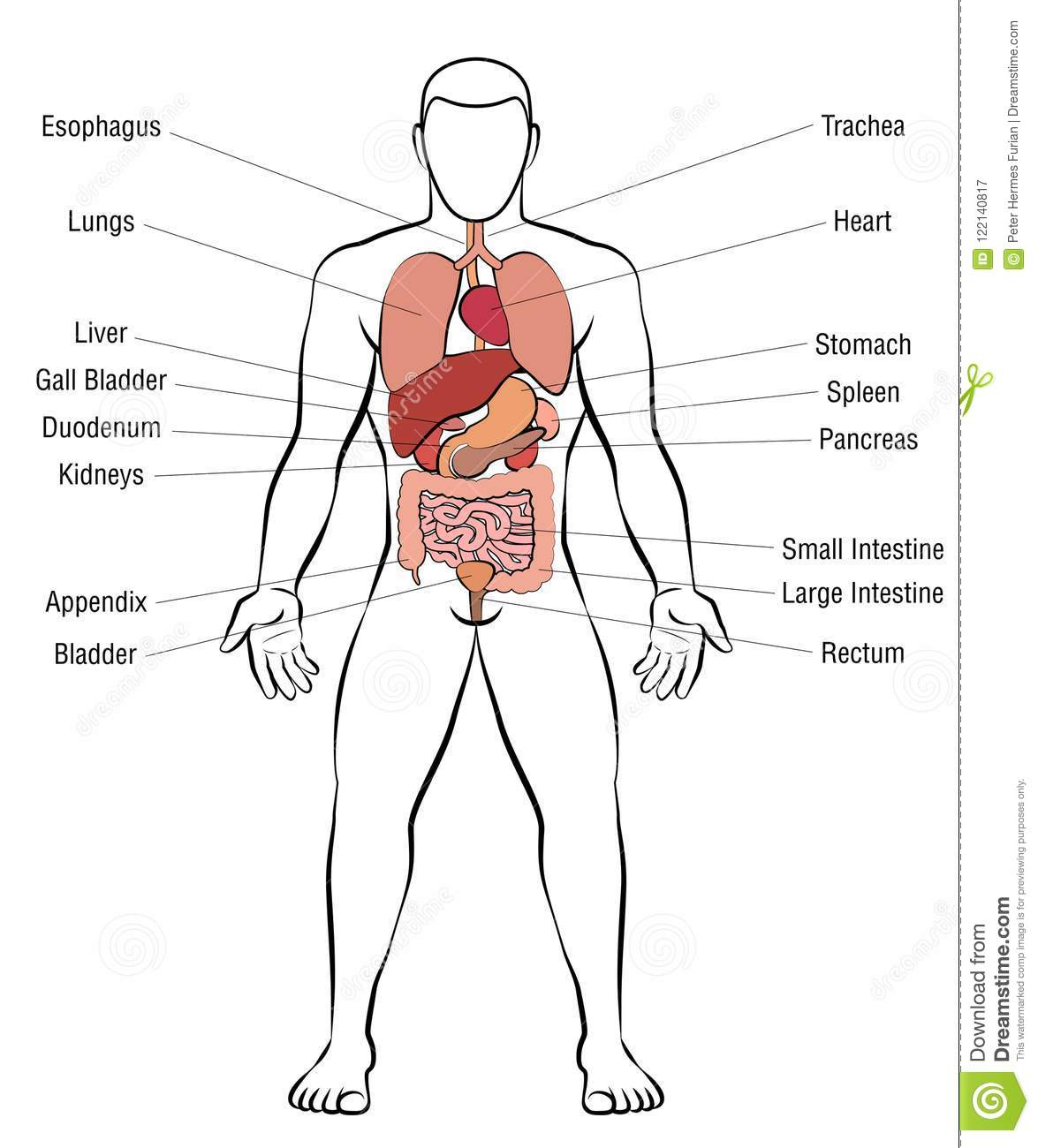 hight resolution of internal organs male body names