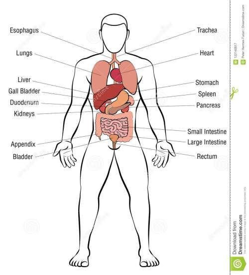 small resolution of internal organs male body names