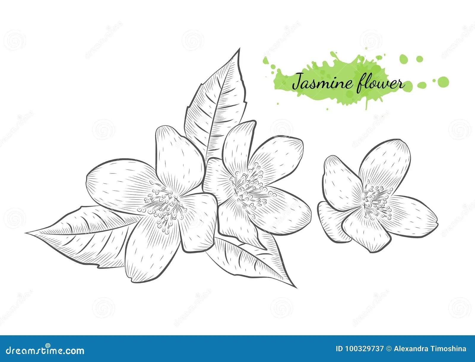 Jasmine Cartoons Illustrations Amp Vector Stock Images
