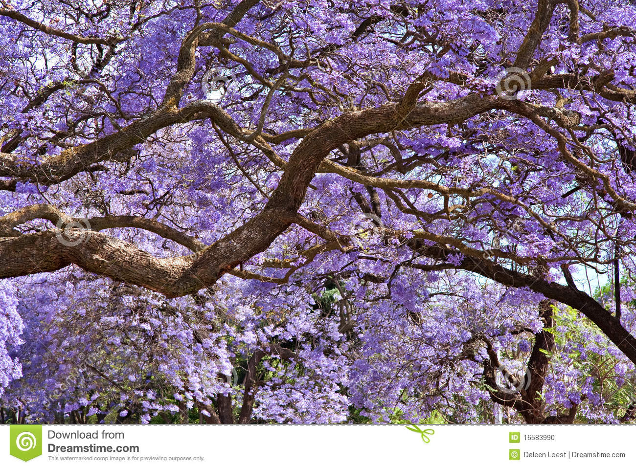 Jacaranda Trees Stock Photo Image Of Foliage Beautiful
