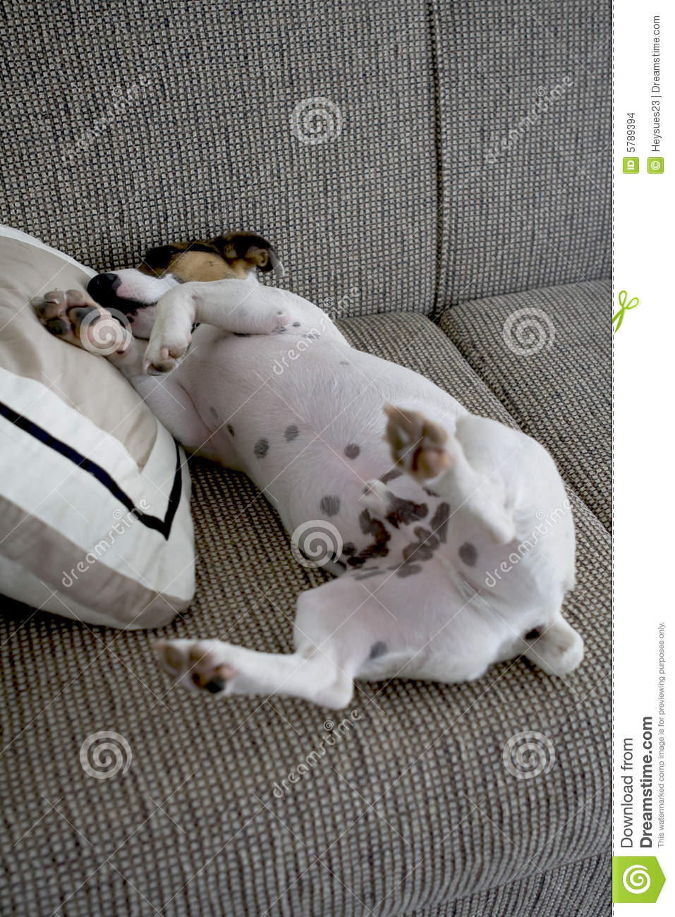 Jack Russel Sleeping On A Pillow Stock Photo  Image of