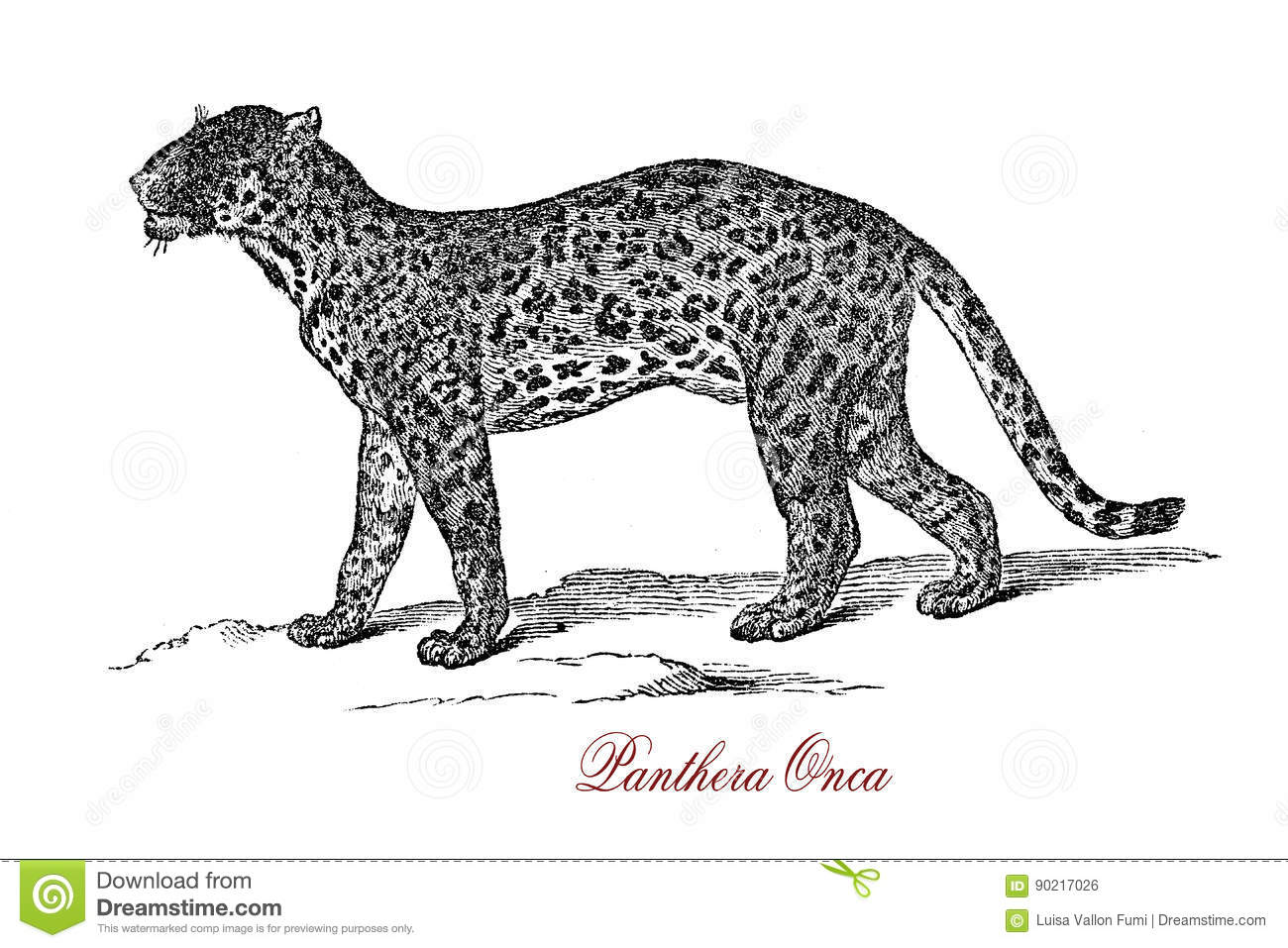 Jaguar Panthera Onca Isolated Stock Illustrations 8