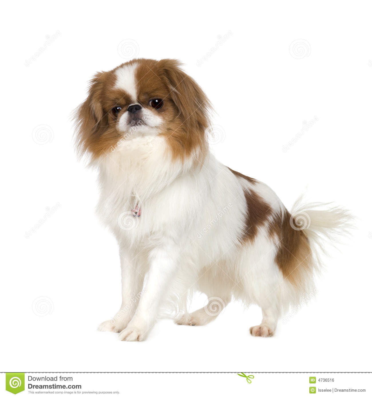 Japanese Chin Dog Stock Photo Image Of Asia Domestic