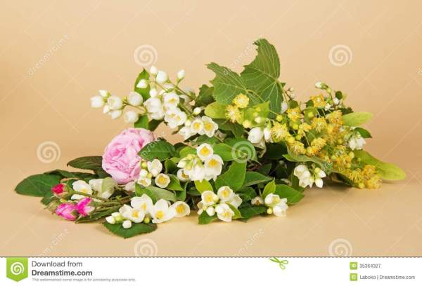 Jasmine Branch Linden Flowers And Tearose Royalty Free