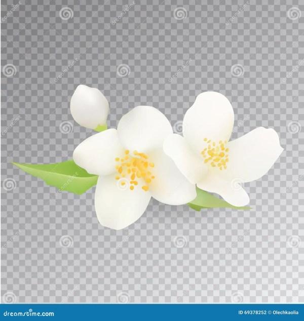 Jasmine Flower Icon Réaliste Sur Le Fond Transparent Clip