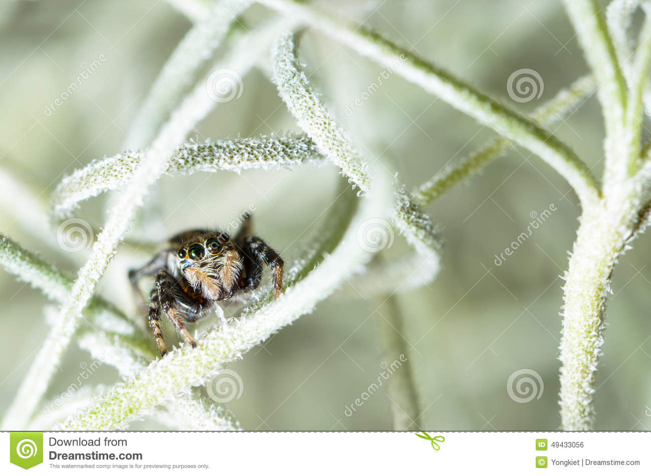 jumping spider hiding in