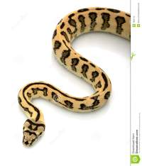 Jungle Jaguar Carpet Python Stock Image - Image: 7964715