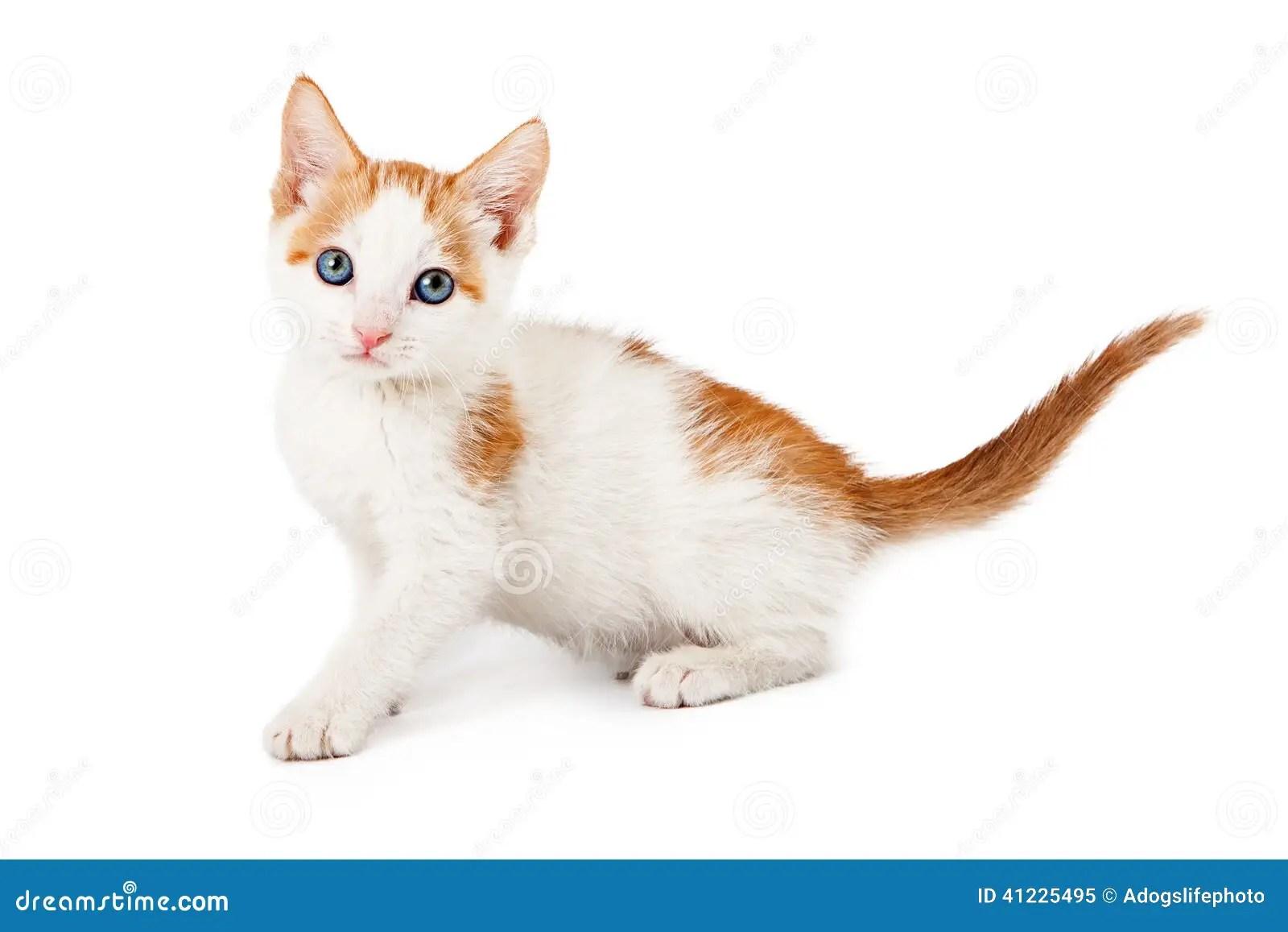 Kitten Orange And White Looking At Camera Stock Image
