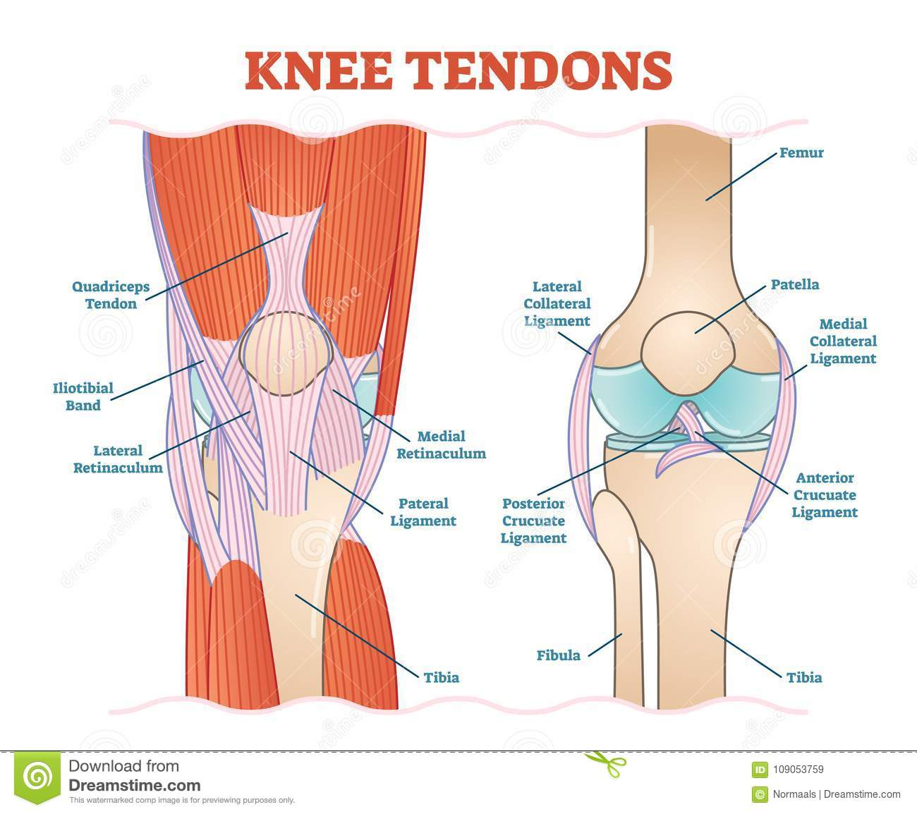 hight resolution of knee tendons medical vector illustration scheme anatomical diagram knee tendon diagram knee tendon diagram