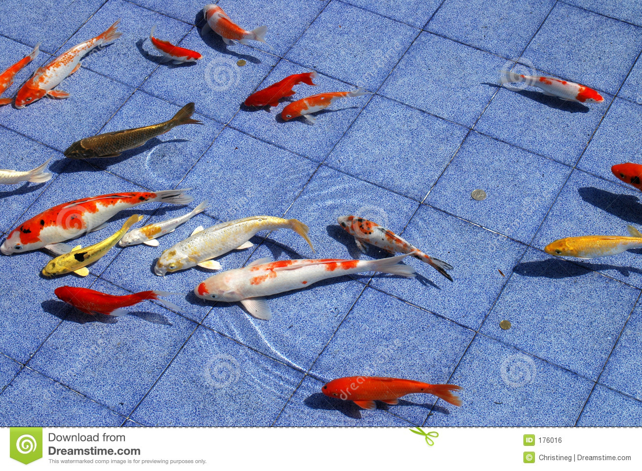 Koi fish in a blue pool stock photo Image of pond tank