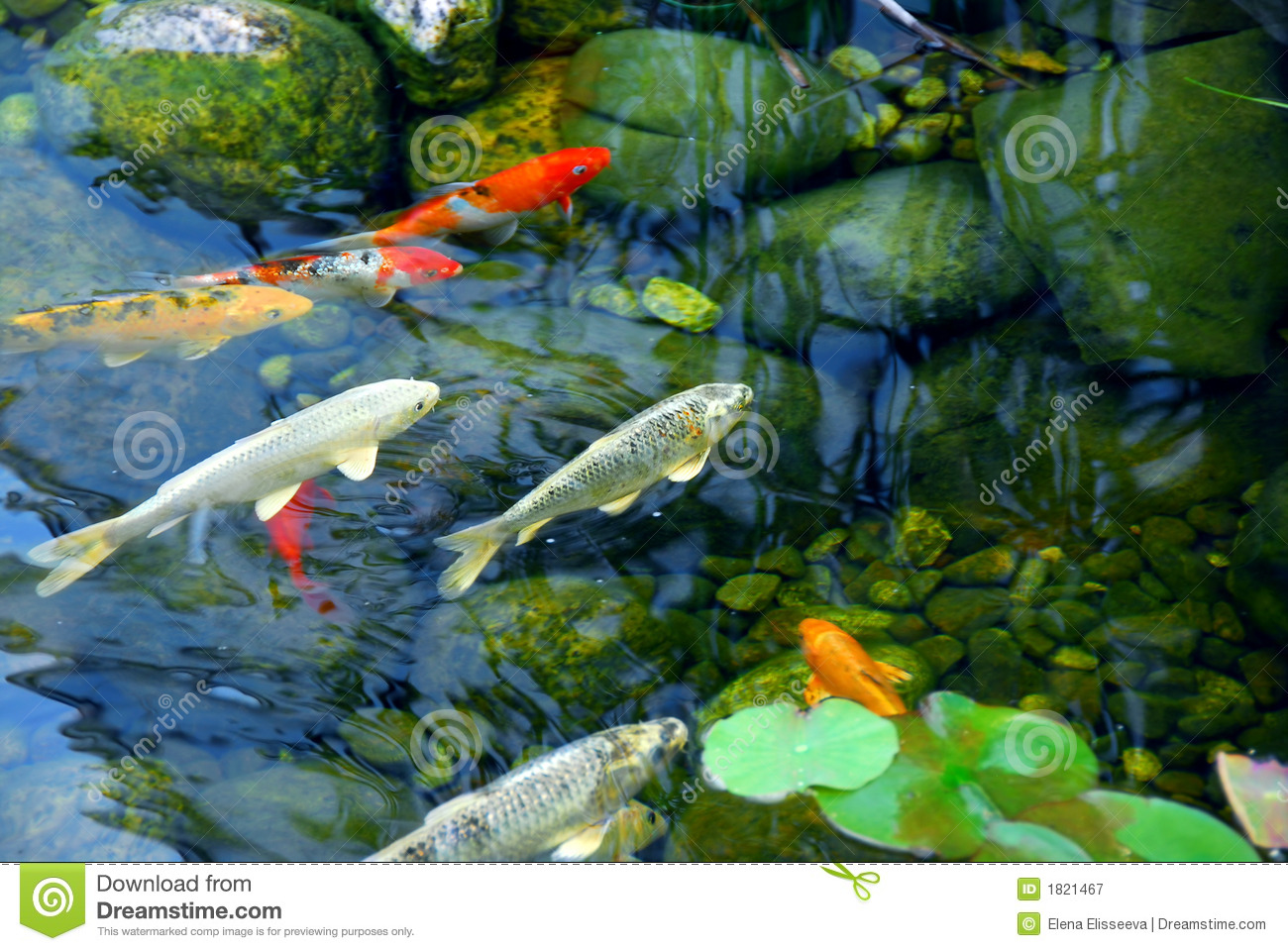 koi pond stock image