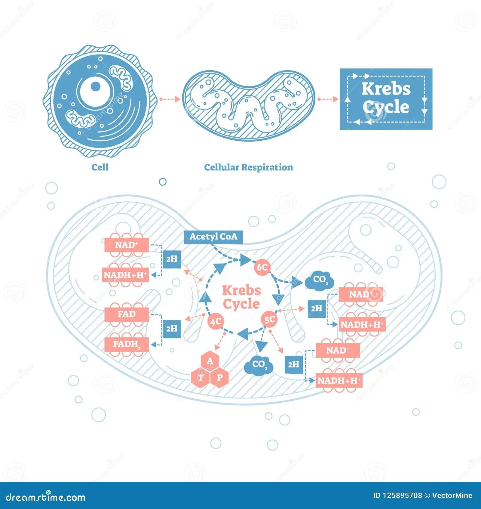 Labeled Aerobic Cellular Respiration Diagram