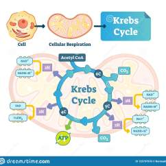 Explain Krebs Cycle With Diagram 2001 S10 Brake Light Wiring Vector Illustration Citric Tricarboxylic Acid
