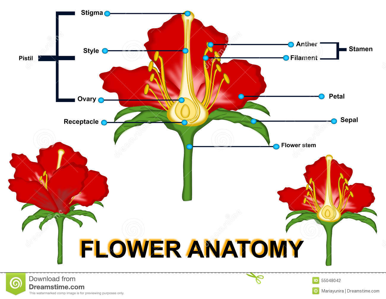 L Anatomie De Fleur Illustration Stock Illustration Du