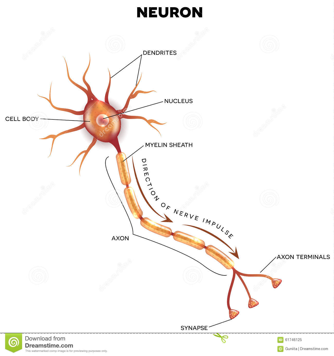hight resolution of labeled diagram of the neuron