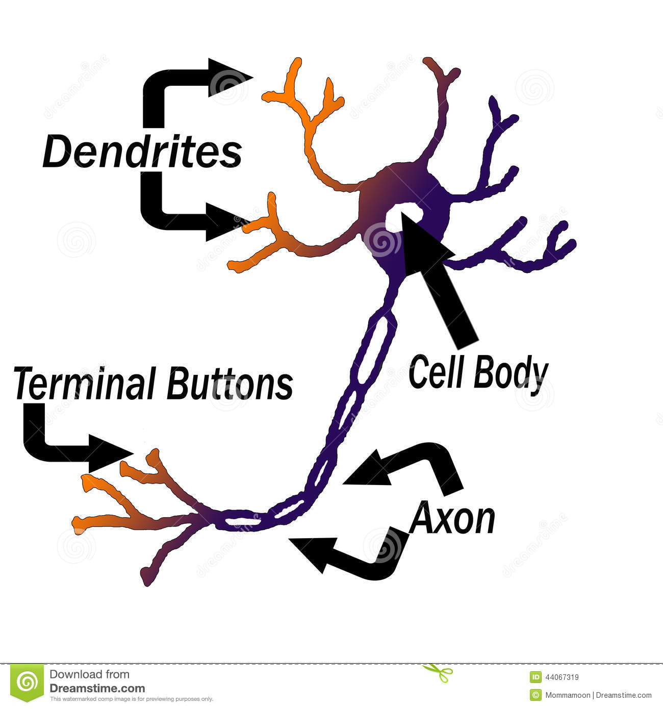 Labeled Parts Of A Neuron Stock Illustration Illustration