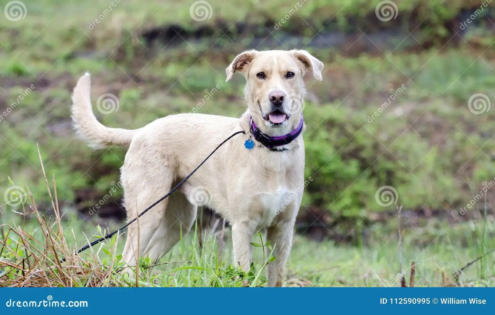 labrador golden retriever mixed