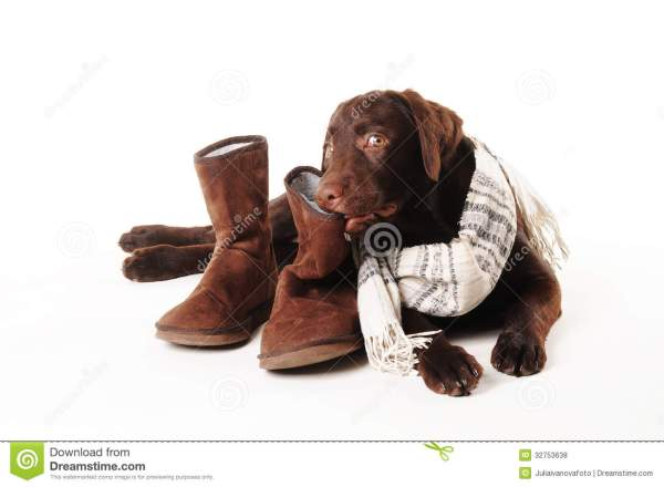 Labrador Puppies Chewing Shoes