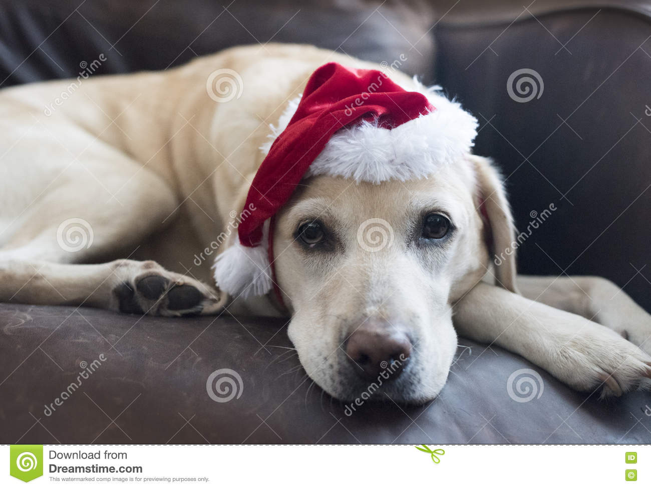 Labrador Santa Stock Photo Image 80781678