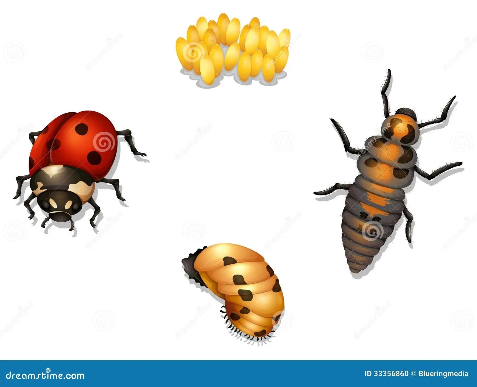 Ladybug Life Cycle Stock Illustration Image Of Isolated