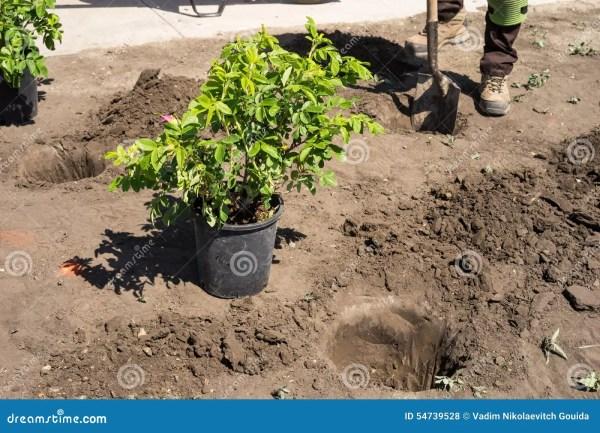 landscaping work - planting bushes