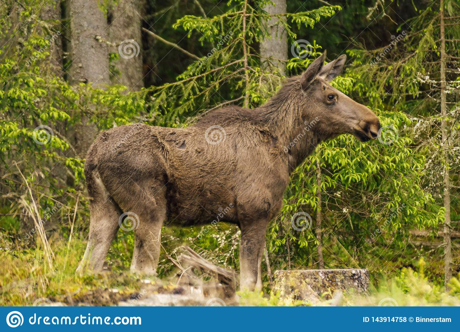 Large Female Moose Standing In A Forest Stock Photo - Image of mammal. sweden: 143914758