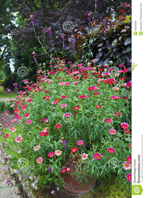 Large Garden Terracotta Pot With Pink Zinnias And Daisies