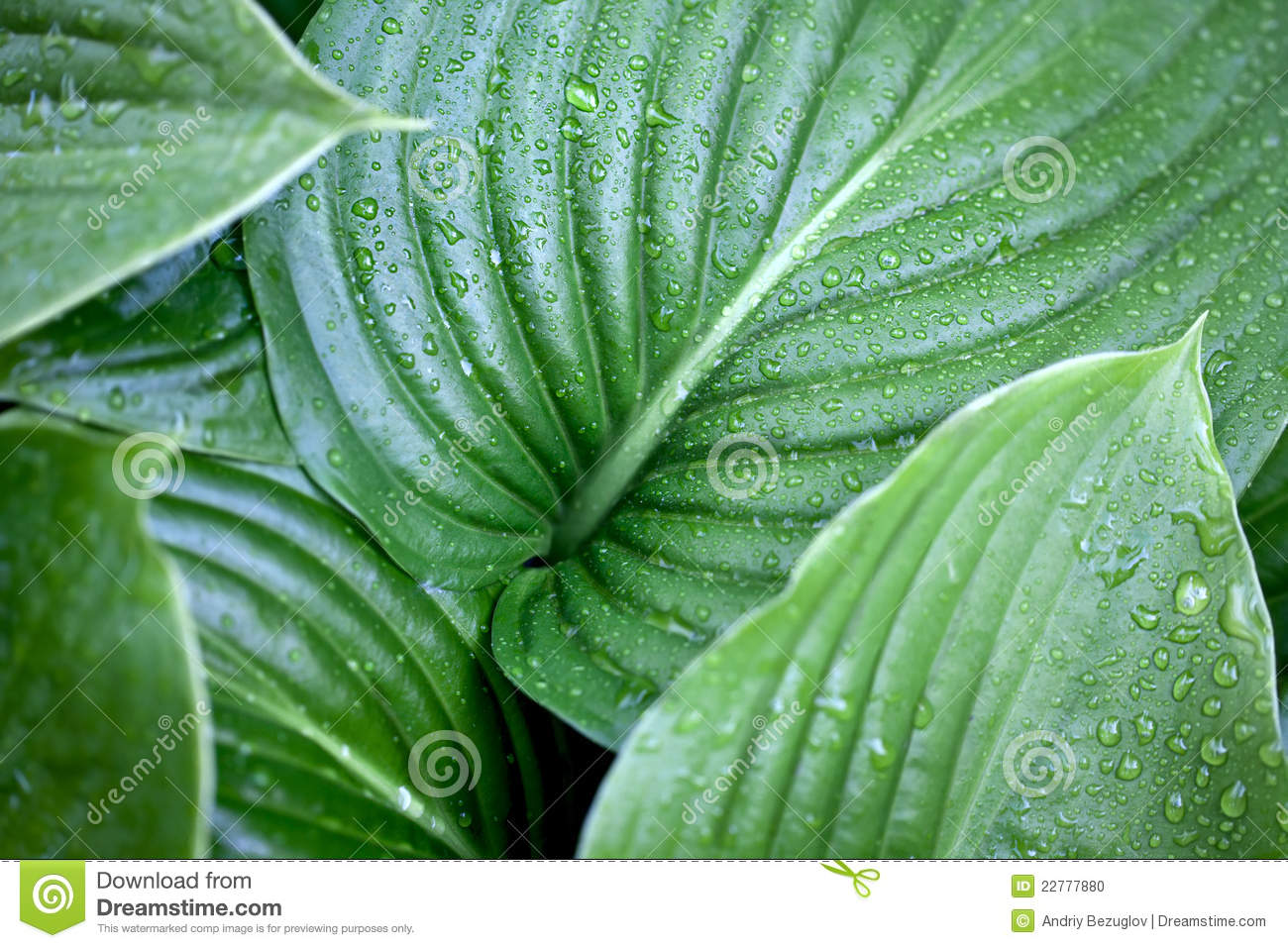 Large green leaves stock photo Image of glisten color