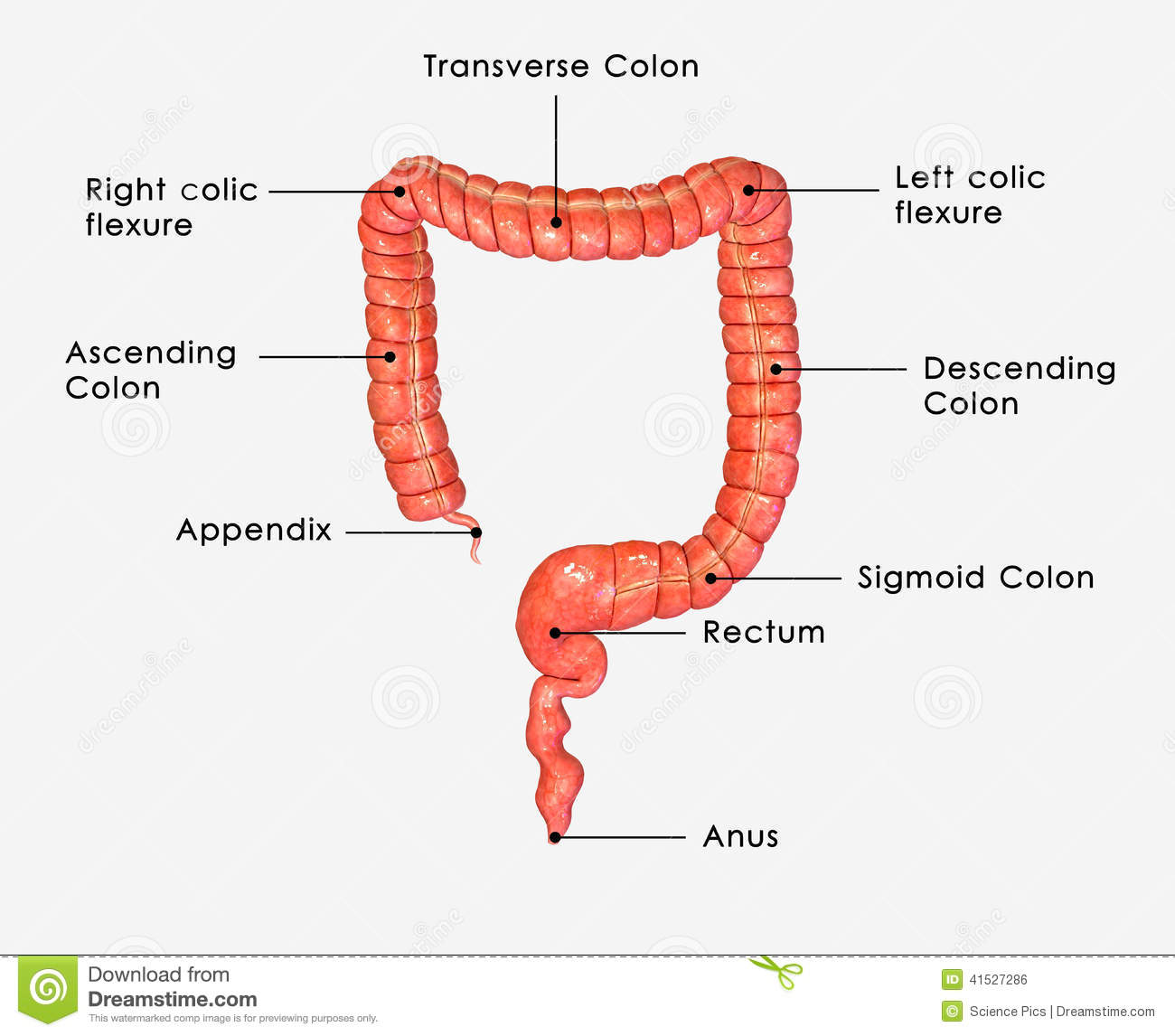 hight resolution of large intestine labelled